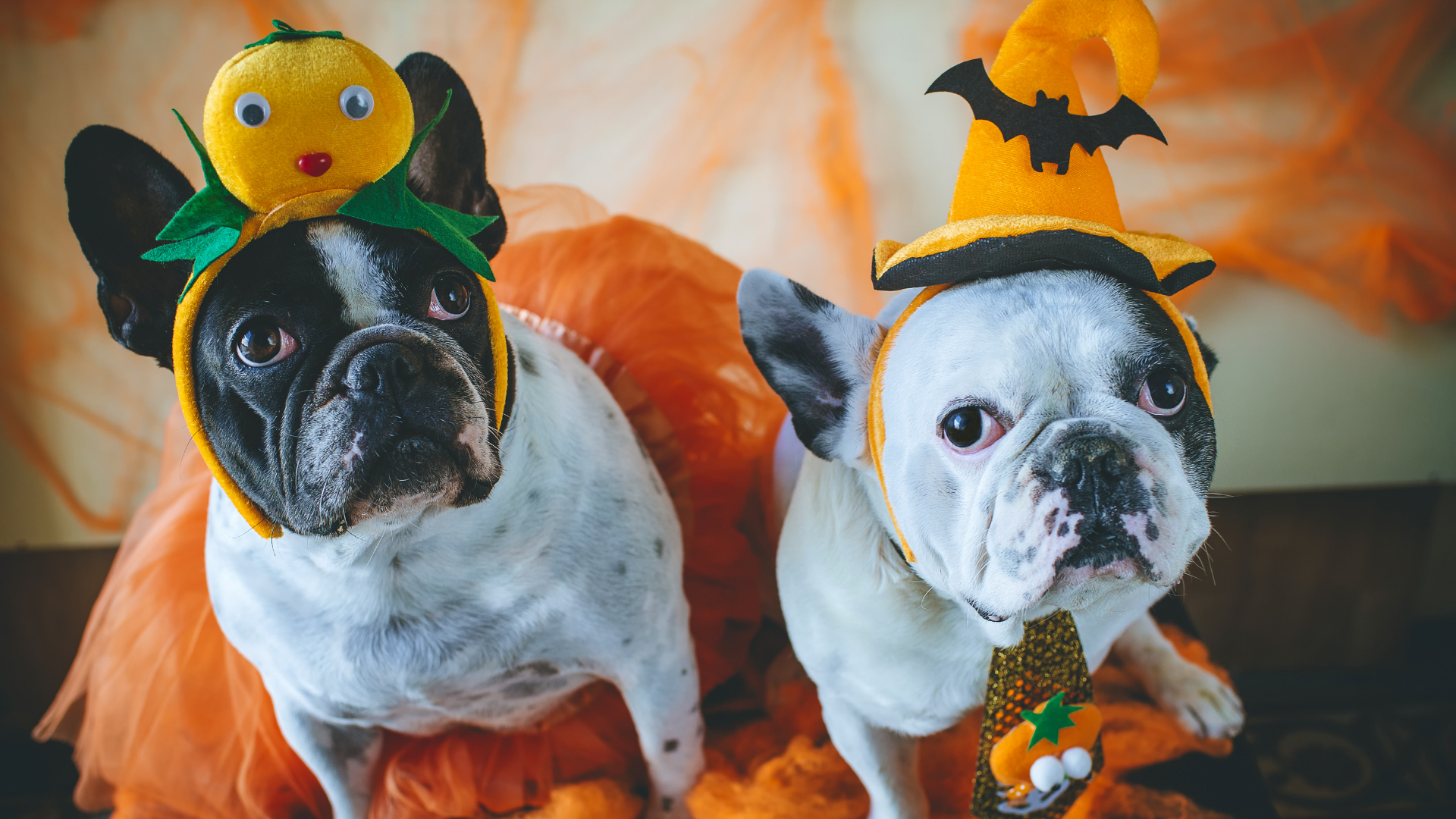 Halloween dogs in costume